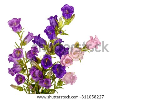 Campanula Flowers. Beautiful  hand-bell isolated on white background