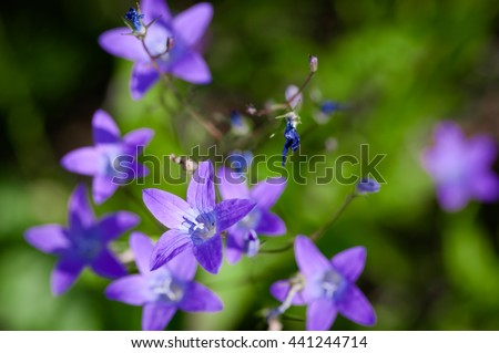 campanula flowers in rustic field in the daytime