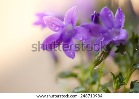 Campanula flowers with water drops. Floral background with soft selective focus. Vintage style processing image with coloration. - stock photo