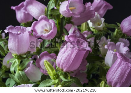 Campanula medium, common name Canterbury Bells, also known as the bell flower, is an annual or biennial flowering plant of the genus Campanula - stock photo