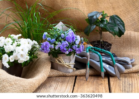 Campanula terry flowers with gardening tools, on sackcloth, on wooden background - stock photo