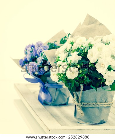 Campanula terry with blue and white flowers in paper packaging - stock photo