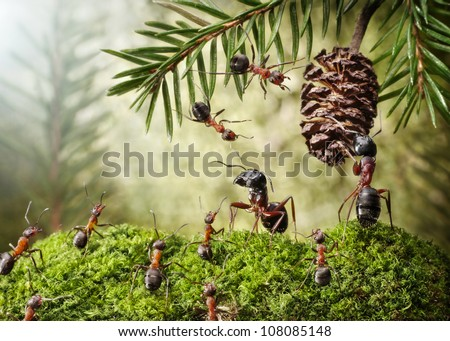 camponotus quarrel with formica for cone, ant stories - stock photo