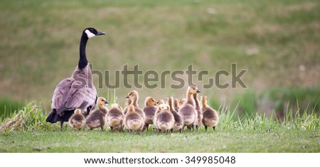 Canada geese chicks following their mother - stock photo