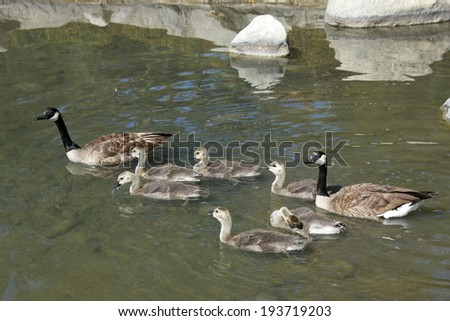 Canada Geese Family mother father and babies on a lake