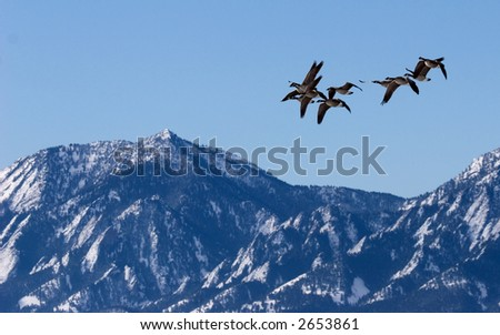 Canada Geese flying over Boulder, CO