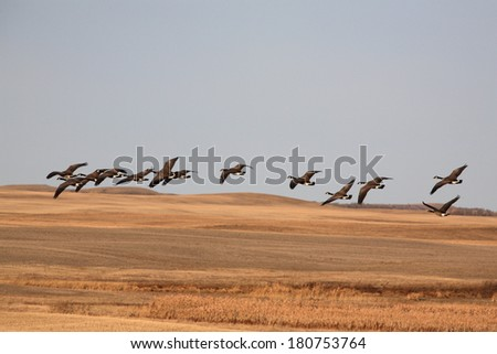 Canada Geese flying over harvested fields - stock photo