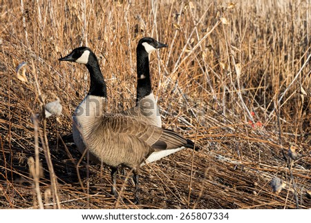 Canada Geese in early spring - stock photo