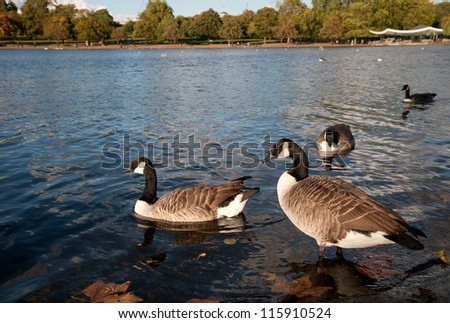 Canada Geese in Hyde Park - stock photo