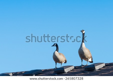 Canada Geese on a roof - stock photo