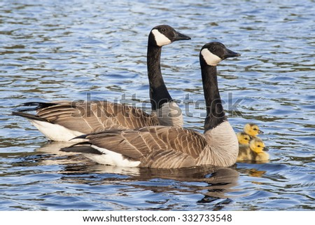 Canada Geese pair with three goslings swimming in lake - stock photo