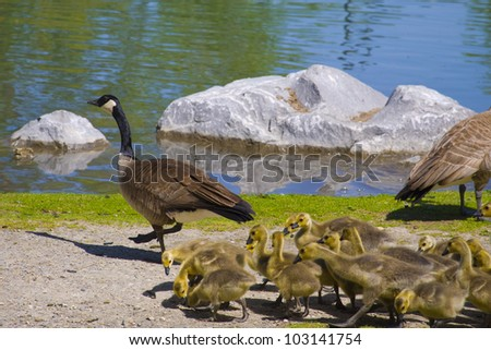 Canada geese parents and goslings swiming - stock photo