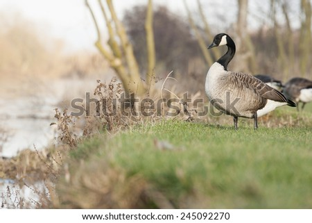 Canada geese portraits taken in Reading - stock photo