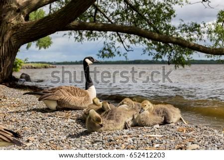 canada goose old quebec