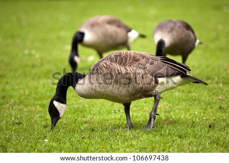 Canada goose birds with black head and white chin - stock photo