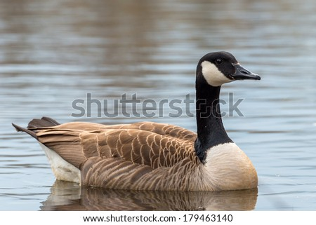 Canada Goose - Branta canadensis - stock photo