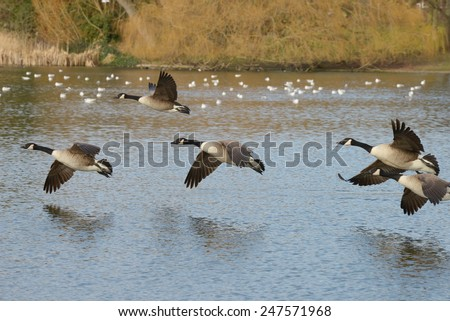 Canada Goose, Branta canadensis - stock photo