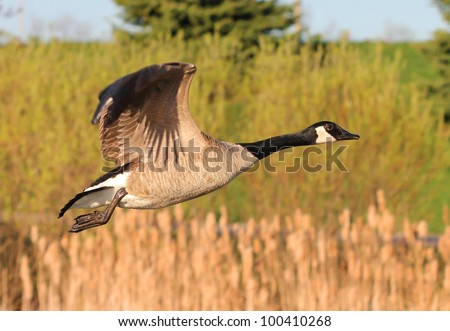 Canada Goose (Branta canadensis) in flight - stock photo