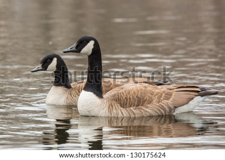 Canada Goose, Branta canadensis, in water - stock photo
