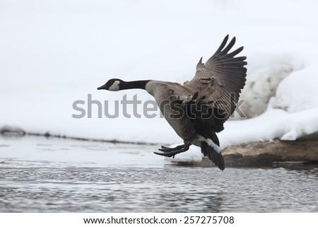 Canada Goose (Branta canadensis) Landing on a River in Winter - Ontario, Canada - stock photo
