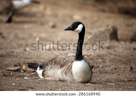 Canada goose (Branta canadensis). Wildlife animal.  - stock photo