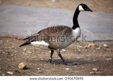 Canada goose (Branta canadensis). Wildlife animal.  - stock photo