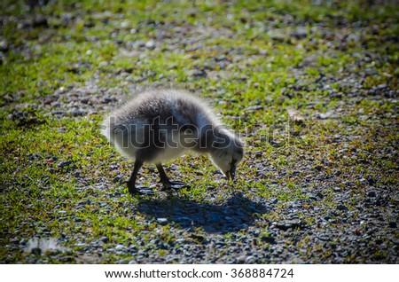 Canada goose, Branta canadensis. Wildlife animal. Single  fluffy baby gosling - stock photo