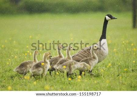 Canada goose (Branta canadensis) with goslings
