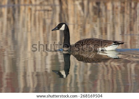 Canada Goose (Branta canadensis) with reflection of cattails on the surface of a pond - Grand Bend, Ontario - stock photo