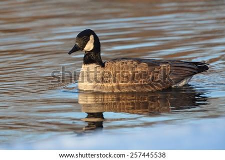 Canada Goose (Branta canadensis) with Reflection on Thames River - Ontario, Canada - stock photo