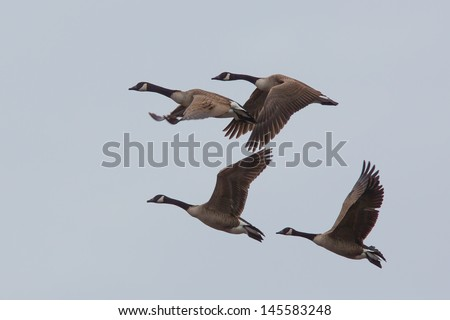 Canada Goose Flock in Flight against clear sky - stock photo