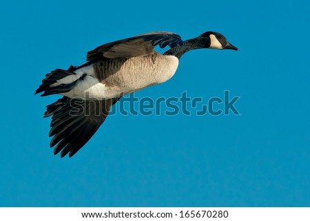 Canada Goose flying across the open sky. - stock photo