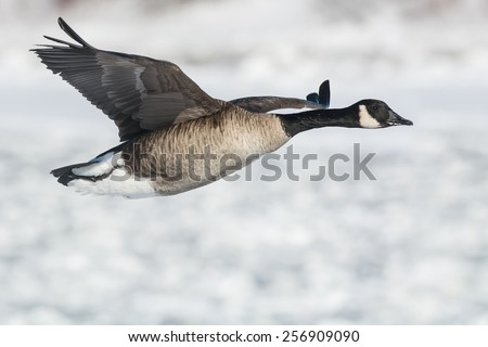 Canada Goose flying low over the icy water. - stock photo
