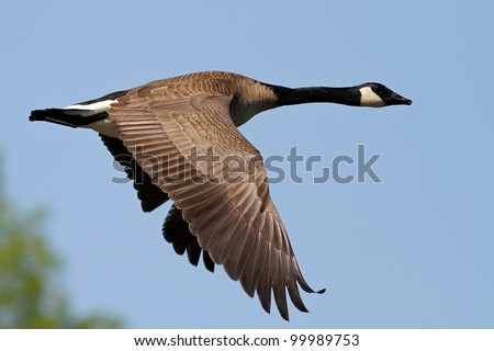 Canada Goose hats online price - Flying Geese Stock Photos, Royalty-Free Images & Vectors ...