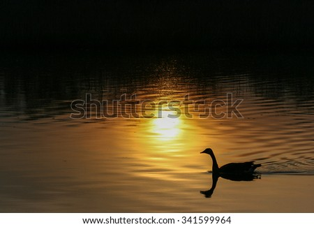 Canada goose gliding on a quiet lake at sunset - stock photo