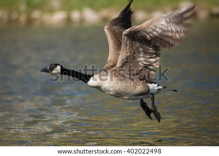 Canada Goose in flight - stock photo