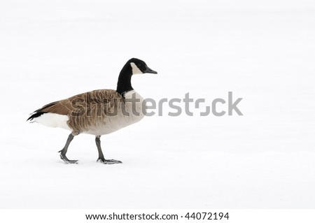 Canada Goose in the cold - stock photo