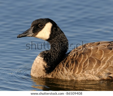Canada goose in water - stock photo