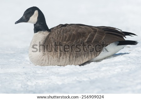 Canada Goose lying down in the snow. - stock photo