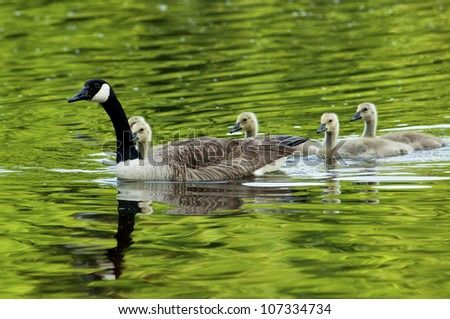 Canada Goose mother with swimming chicks - stock photo