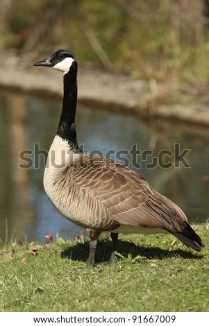 Canada Goose on shore of pond in autumn - stock photo