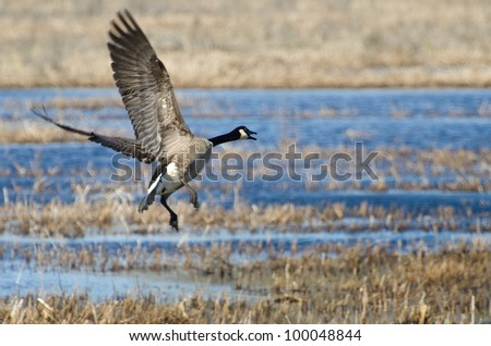 Canada Goose Taking to Flight - stock photo