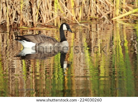 Canada Goose with fall colors reflection - stock photo