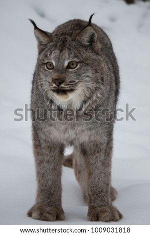 Canada Lynx in Winter