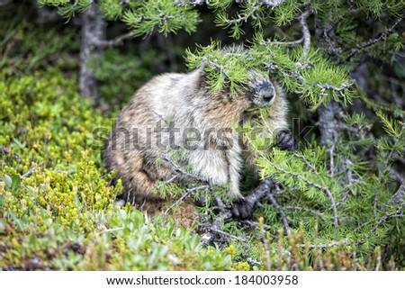 Canadian brown and white Marmot Groundhog Portrait