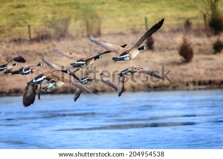 Canada Goose trillium parka replica fake - Geese Flying Stock Photos, Royalty-Free Images & Vectors ...
