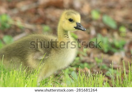 Canadian Geese Gosling looking right in beautiful natural light - stock photo
