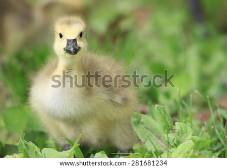 Canadian Geese Gosling looking straight ahead in soft beautiful natural light - stock photo