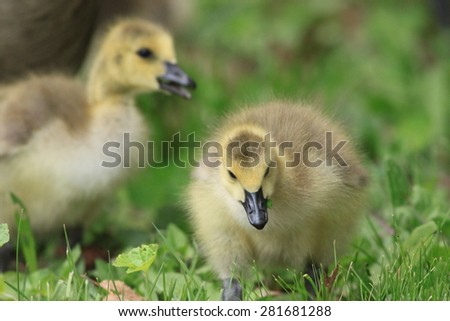 Canadian Geese Goslings foraging grass in beautiful natural light - stock photo