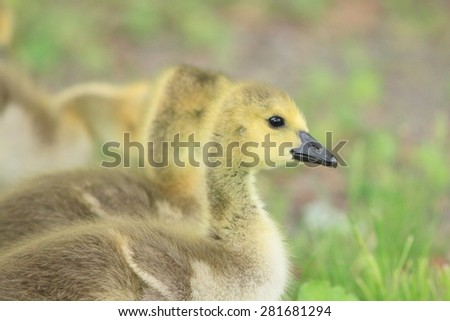 Canadian Geese Goslings walking side by side in natural beautiful light - stock photo